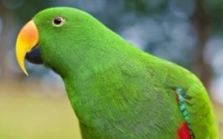У волнистого попугая опухоль внизу живота — что делать?