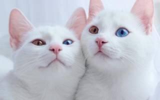 Самые красивые кошки-близнецы в мире, их фото