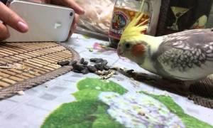 Можно ли давать попугаю жареные семечки
