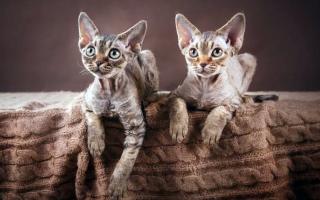 Кошки, которые не линяют: список пород для выбора, 31 фото