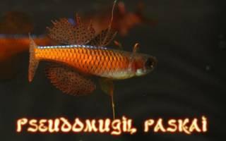 Псевдомугил паскай — красный неон: содержание, разведение, фото-видео обзор