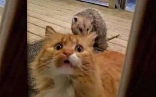 Как кот реагирует на опоссума, похищающего его еду
