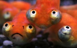 Звездочет или рыбка небесное око: фото-видео обзор