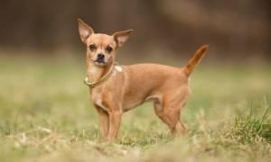 Маленькие собаки: описания пород с фото, правилами содержания и ухода
