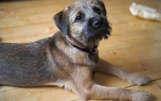 Описание породы собак Бордер терьер с отзывами владельцев и фото