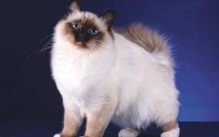 Пушистые кошки: 29 пород с фотографиями и описанием