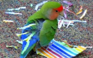 Попугай вставляет в хвост бумагу — что это значит?