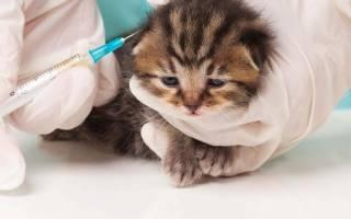 Прививки котятам: когда и какие делать, первая вакцинация