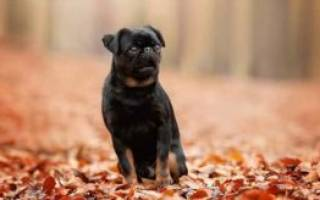 Описание породы собак Пти-брабансон с отзывами владельцев и фото