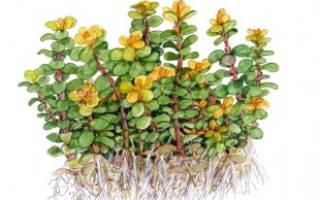 Аммания бонсай — Ammania sp Bonsai: содержание, фото-видео обзор