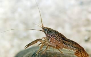 Мраморный рак: содержание в аквариуме, совместимость, размножение, фото-видео обзор