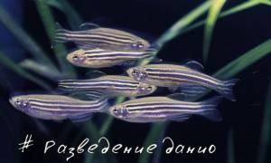 Разведение и размножение данио нерест в домашних аквариумах: фото-видео обзор