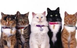 Как определить породу кошки: характерные признаки и советы