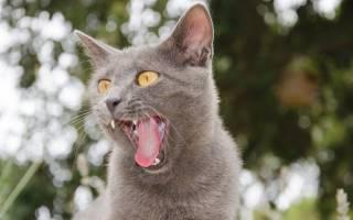 Почему кошки высовывают язык, причины, признаки заболеваний