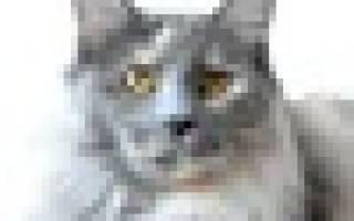 Необыкновенные котята у черепаховой кошки-бобтейла