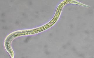Нематоды — белые червячки в аквариуме, как избавиться?