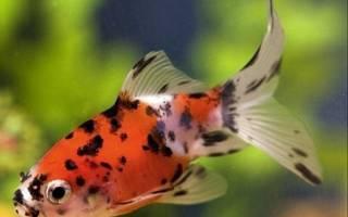 Шубункин — золотая рыбка: содержание, совместимость, фото-видео обзор