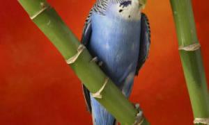 Почему попугай ночью мечется по клетке