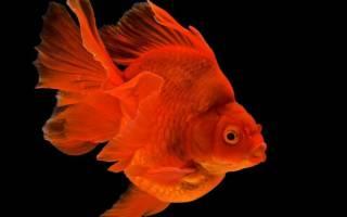 Рюкин содержание, уход, совместимость рыбки в аквариуме