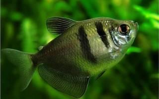 Тернеция: содержание, совместимость, размножение, фото-видео обзор рыбки
