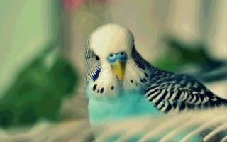 Можно ли попугаям грецкие орехи