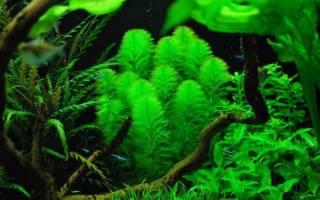 Перистолистник елочный зеленый: содержание, фото-видео обзор