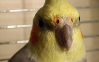 Как лечить насморк и сопли у попугая?