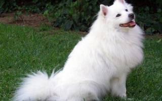 Описание породы собак Американский эскимосский шпиц с фото и отзывами, тех у кого уже есть эта собака