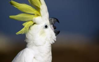 Попугай постоянно кричит: причины громкого крика