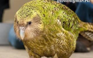 Совиный попугай — уход, содержание и особенности вида