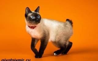 Скиф тай дон: описание породы, как выбрать котенка, 20+ фото