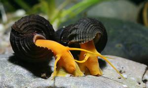 Аквариумные моллюски и улитки