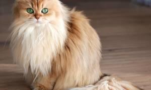 Самая фотогеничная кошечка в мире по имени Смузи
