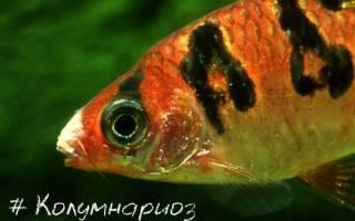 Колумнариоз (Флексибактериоз) рыб: лечение в аквариуме, фото-видео обзор