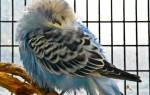 Попугай прячет голову под крыло и нахохлился — что делать?