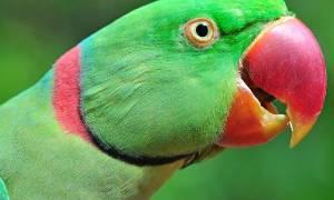 Китайский кольчатый попугай — уход и содержание