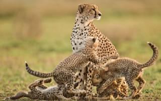 5 вымирающих видов диких кошек, которых нужно спасать сейчас