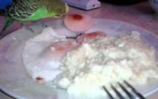 Можно ли давать волнистому попугаю вареное яйцо