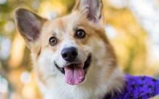 Описание породы собак вельш корги пемброк