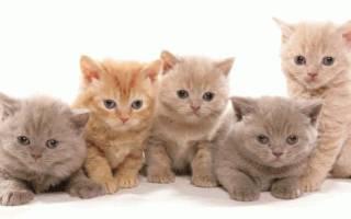 Кормим британских котят: общие правила кормления по возрасту