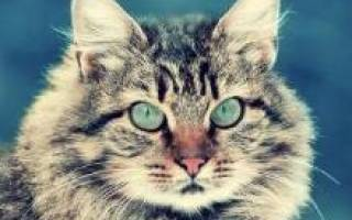 Немного об истории Сибирских кошек: описание, стандарты