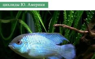 Наннакара аномала — зеленая: содержание, совместимость, размножение, фото-видео обзор