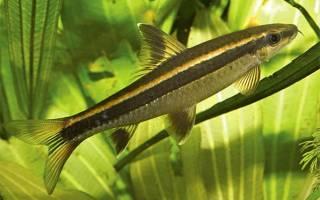 Лисичка или ложный сиамский водорослеед: содержание, фото-видео обзор