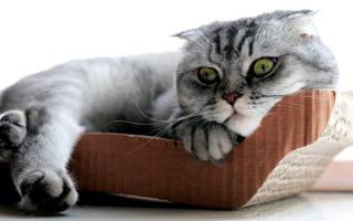 Уход за шотландскими вислоухими котятами: 8 основных правил