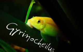 Гиринохейлус золотой сомик: содержание, совместимость, фото-видео обзор