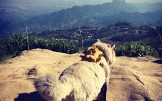 Познакомьтесь с Бон Боном, самым пушистым котиком на свете из Тайланда