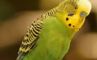 🐦 У попугая плохой помет 🐤 (зеленый, черный, белый, жидкий) — что все это может значить?