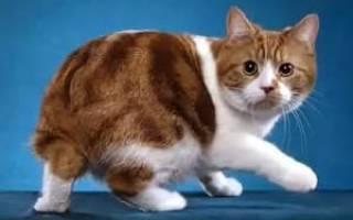 Мэнкс или мэнкская кошка: описание породы, 20+ фото, цена
