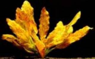 Эхинодорус Оцелот красный, зеленый: содержание, фото-видео обзор
