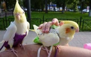 Памперсы для попугаев — для чего нужны и как применять?
